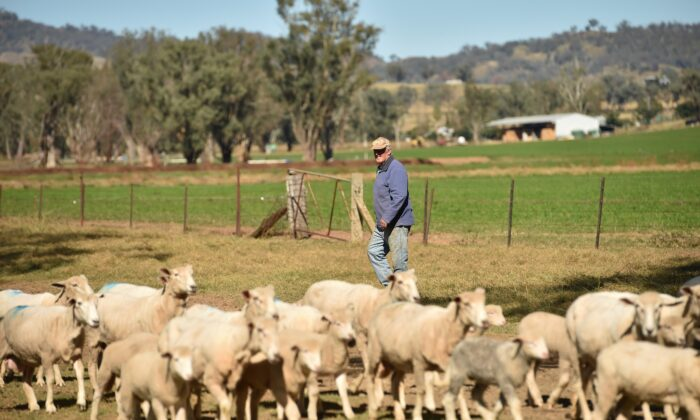 This photo taken on May 4, 2020 shows Australian farmer Kevin Tongue herding sheep at his property near the rural city of Tamworth, 450 kilometres north-west of Sydney. (Peter Parks/AFP via Getty Images)