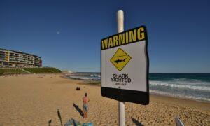 Great White Shark Kills Queensland Surfer