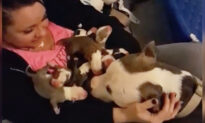 Pit Bull Mom Gives Birth to 11 Pups and Brings All of Them to Her Human Mom Who Rescued Her