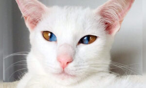 Meet This Stunning White Cat With Rare Genetic Condition That Has Striking Two-Colored Eyes