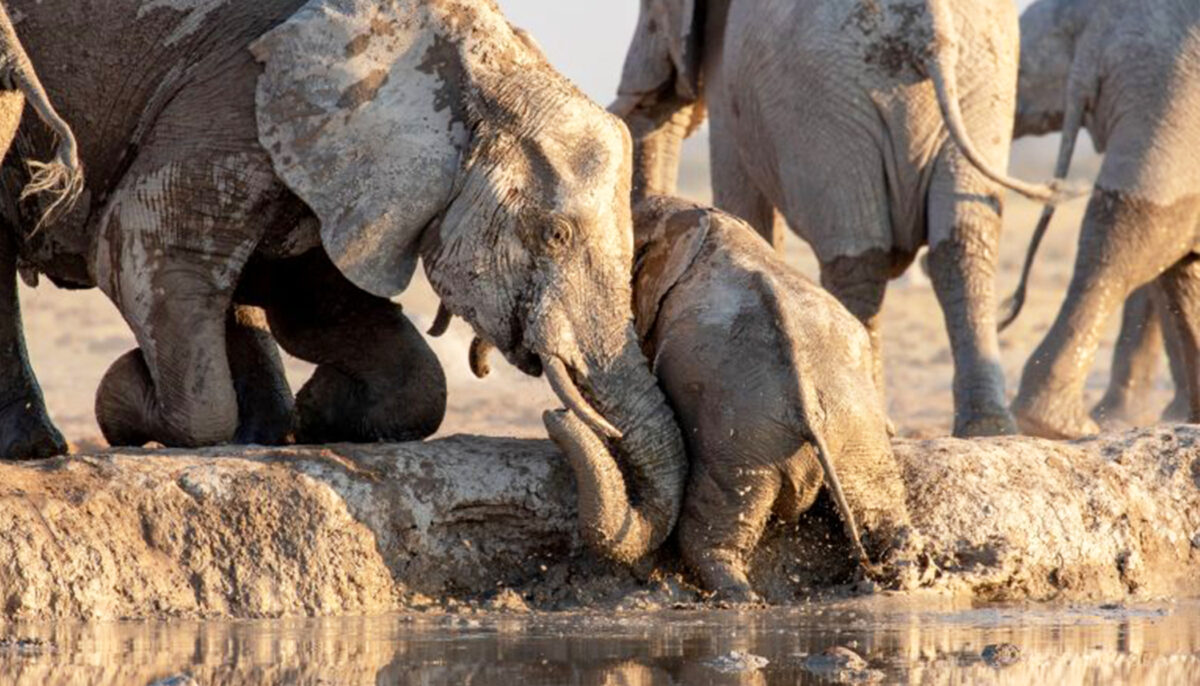 Heartwarming Video Captures Elephants Rescuing a Calf That Slipped ...