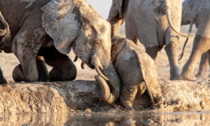 Heartwarming Video Captures Elephants Rescuing a Calf That Slipped Into a Watering Hole