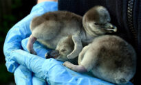 Supermarket Adopts Humboldt Penguins at UK's Chester Zoo to Prevent Permanent Closure