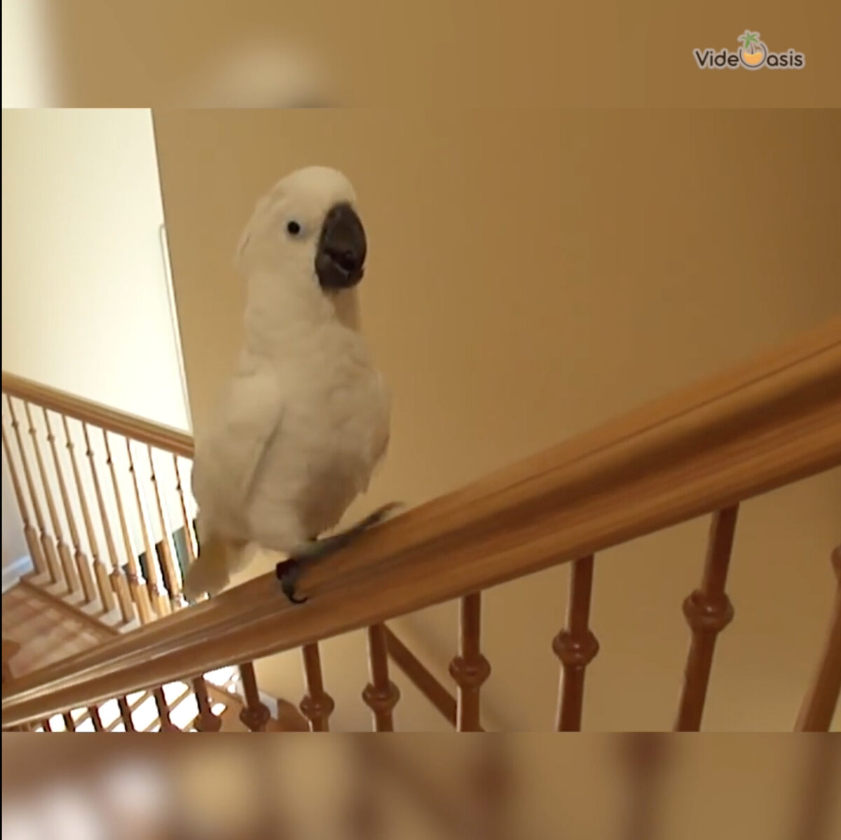 Funny Moment Of Cockatoo Sliding Down Stair Railing