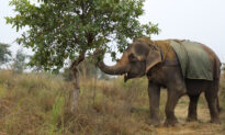 Blind Abused Elephant Spent 40 Years Panhandling for Owner, Is Now Finally Rescued
