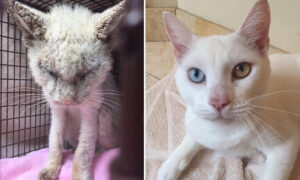 'Blind' Cat Rescued From the Streets Finally Opens His Eyes to Reveal Two Stunning Different Colors