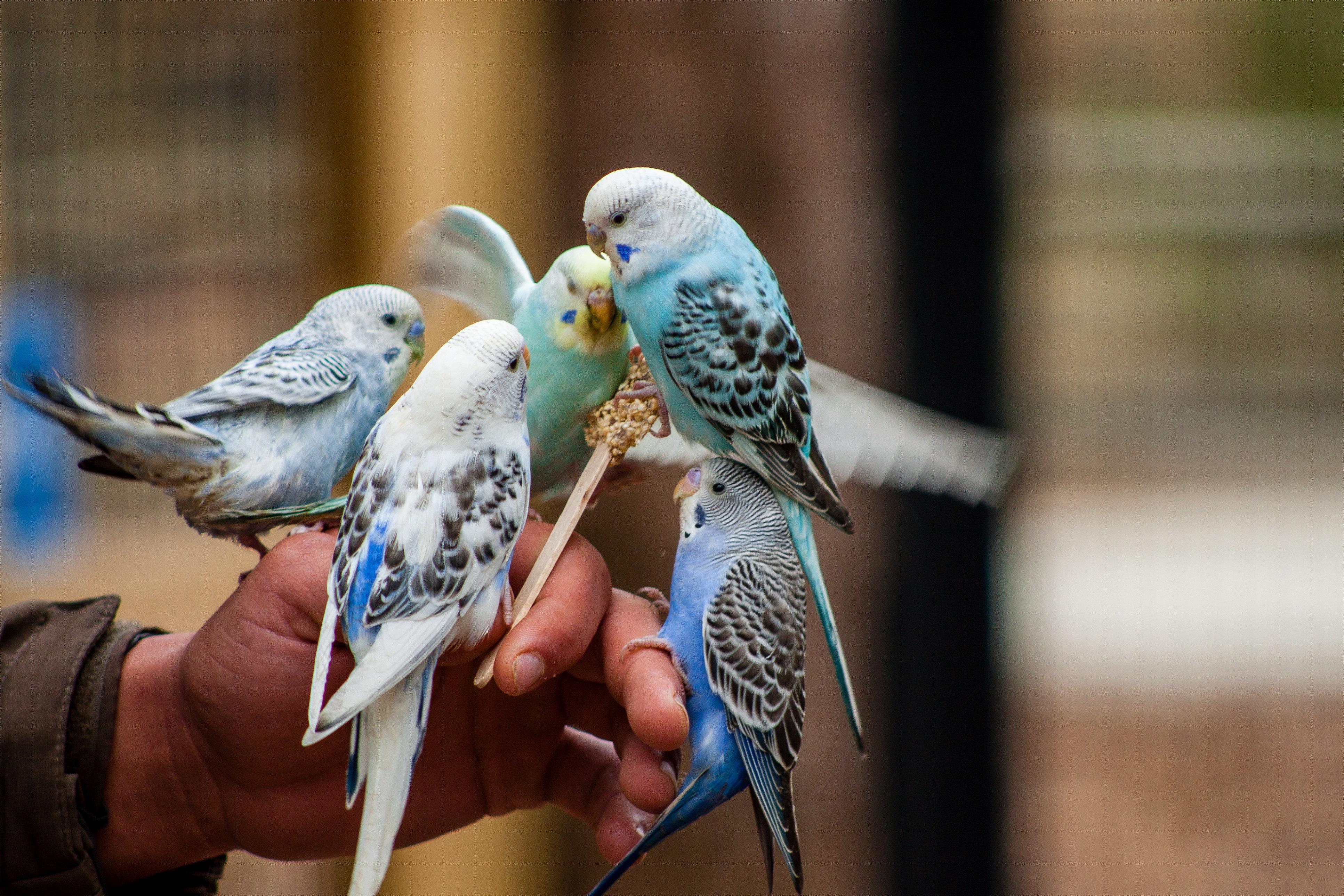 Feeding_Parakeets2_KG_Lubbock