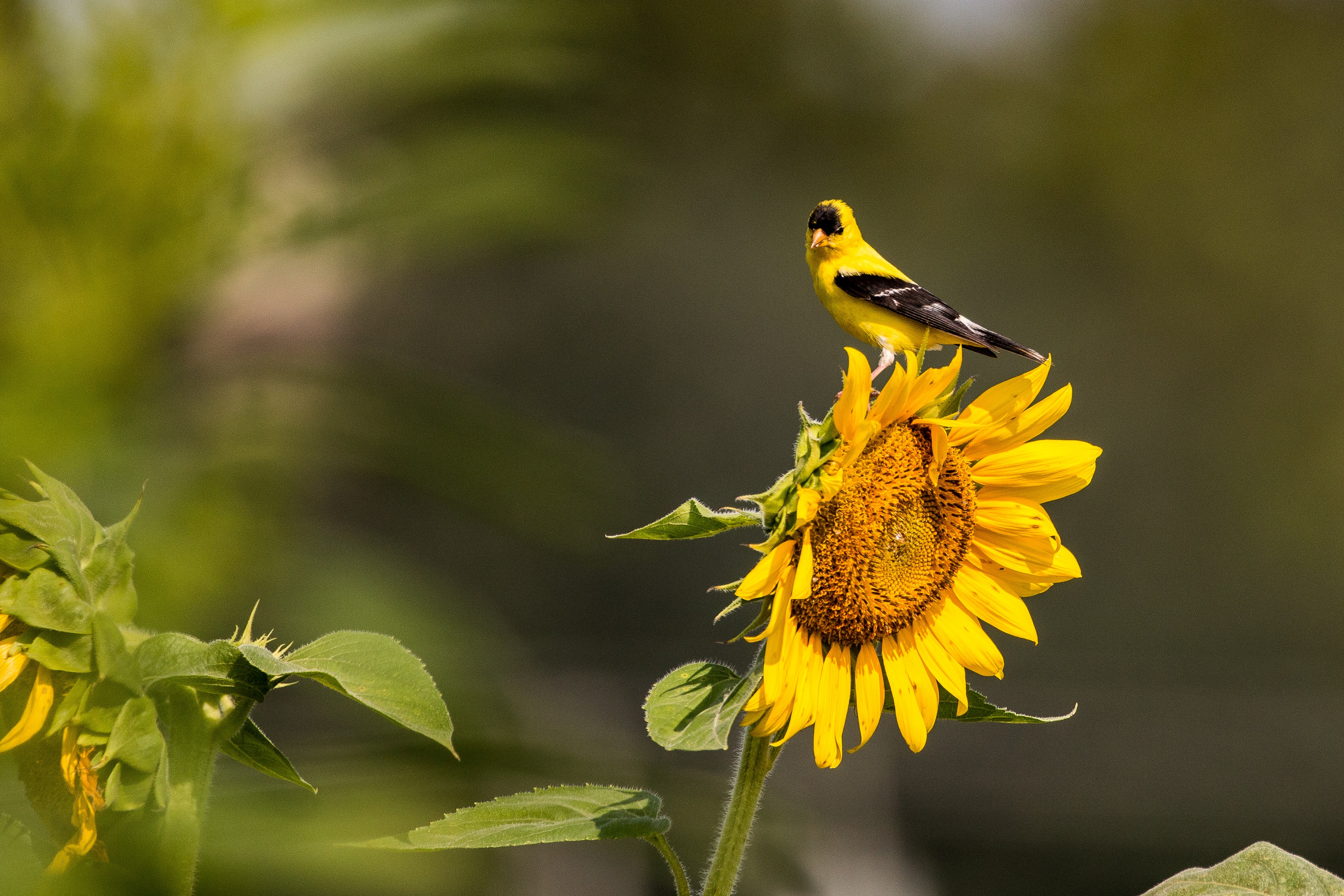 american_goldfinch