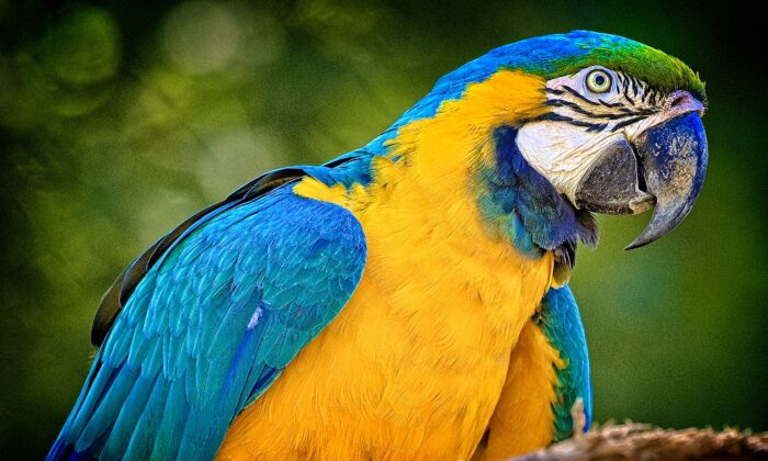 The blue-and-yellow macaw uses its powerful beak for climbing and hanging from trees and for breaking open nutshells. (Copyright Fred J. Eckert)