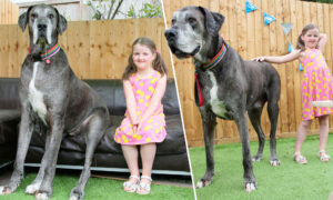 World's Biggest Dog Freddy Is Over 7 Feet Tall, and Now Might Also Be World's Oldest Great Dane