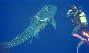 Ocean Divers Cut Free Whale Shark With Rope Around Its Neck–Then Shark 'Thanks' Them