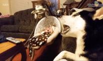 Husky Sings to Calm Baby