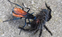 Tarantula Hawk Wasp Has the 2nd Most Painful Bug Sting in the World–but Tarantulas Get It Worse