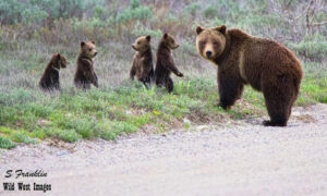 World's Most Famous Grizzly Bear Emerges From Hibernation With Her Quadruplet Cubs