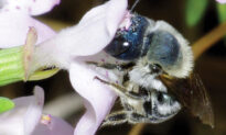 Researchers Rediscover Ultra-Rare BLUE Bee, Long Thought to Be Lost, in Florida