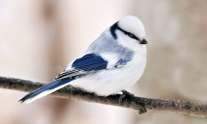 Meet the Azure Tit, a Tiny Frost-Blue Songbird Enchanting People With Its Cuteness