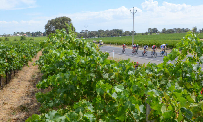 The peloton rides through McLaren Vale vineyards on the fifth day of the Tour Down Under cycling race in Adelaide, Australia on January 20, 2018.  (BRENTON EDWARDS/ Getty Images)