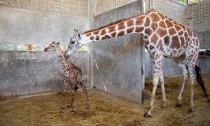 Birth of a Baby Giraffe at Florida Theme Park Coincides With World Giraffe Day