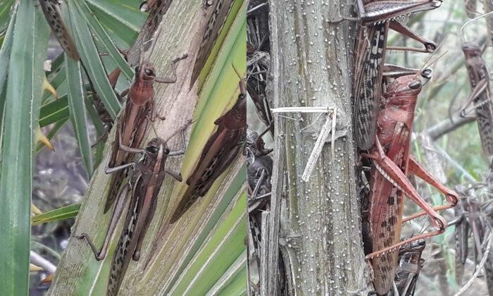 Locusts are seen on plants, in Gran Guardia, Formosa, Argentina, on June 1, 2020. (SENASA/Reuters)