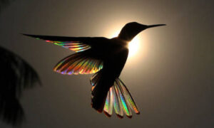 Photographer Captures Incredible Images of Hummingbird's Wings Gleaming Like Rainbows