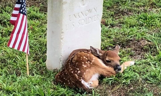 Tiny Fawn Spotted 'Cozying Up' Next to the Headstone of Unknown US Soldier at a Cemetery