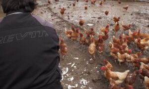 One Person Dead, 465 Sick After Interacting With Pet Poultry