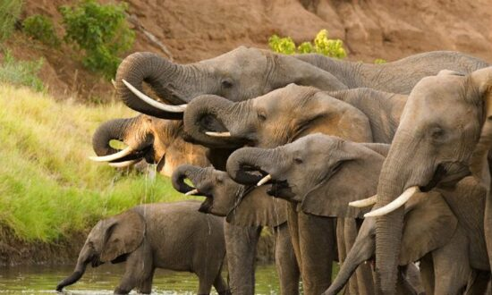 Hundreds of Elephants Found Dead in Botswana in Mysterious Mass Die-Off
