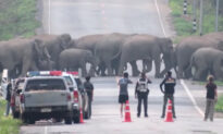 Spectacular Moment 50 Elephants Hold Up Traffic to Cross a Highway in Thailand