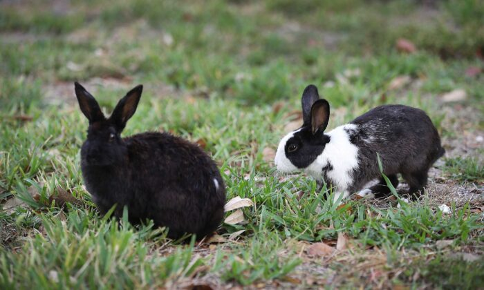 Rabbits are seen near Pioneer Canal Park in Boynton Beach, Fla., on April 22, 2018. (Joe Raedle/Getty Images)