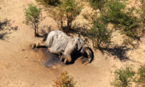 What Killed Hundreds of Elephants in Botswana? Still Unknown
