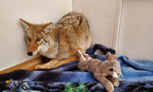 Night Shift Worker Rescues a 'Dog' He Hit With His Car, Only to Find Out It's Actually a Coyote