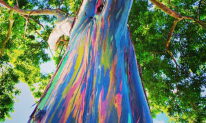 Incredible Photos Reveal Rainbow Eucalyptus Trees Make Living Art as They Shed Bark