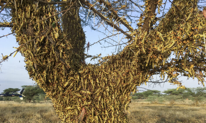 Locusts swarm on a tree south of Lodwar town in Turkana county, Kenya, on June 23, 2020.  (Boris Polo/AP Photo)