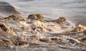 Captivating Photo Shows 5 Cheetah Brothers Crossing Crocodile-Infested River in Kenya