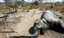 Botswana Gets First Test Results on Mysterious Elephant Deaths
