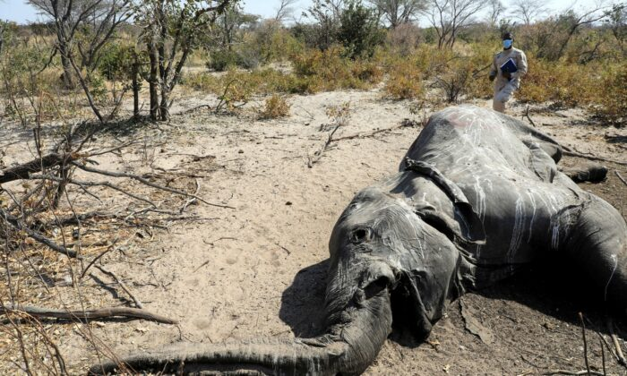 Dr Wave Kashweeka, Principal Veterinary Officer stands over the carcass of an elephant found near Seronga, in the Okavango Delta, Botswana, on July 9, 2020. (Thalefang Charles/File/Reuters)