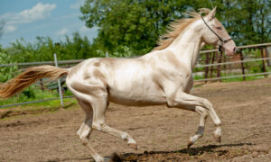 Here Are the Five Most Beautiful and Rare Horse Breeds in the World