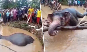 Villagers Unite to Rescue an Elephant Using Ropes and Bare Hands After It Falls Into a Pit