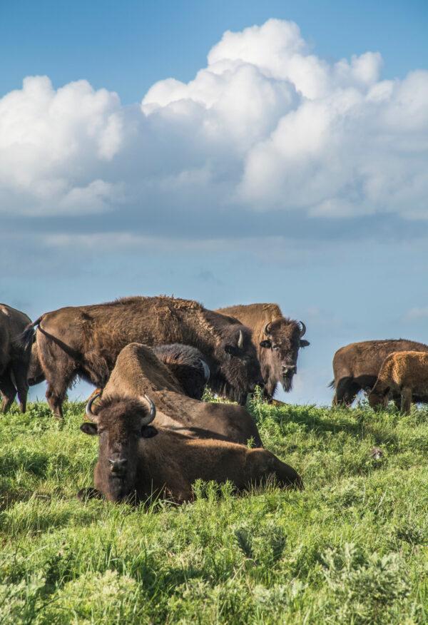 bison in kansas