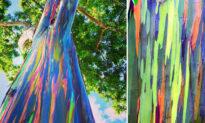 Incredible Photos Reveal Rainbow Eucalyptus Trees Make Living Art as They Shed Bark