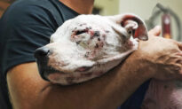 Sick Pit Bull Ignored Due to Her Breed Gets Rescued, Now Mentors Other Dogs