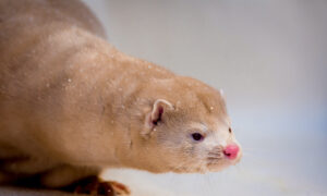 Spain to Cull 93,000 Mink at a Farm Hit by Coronavirus