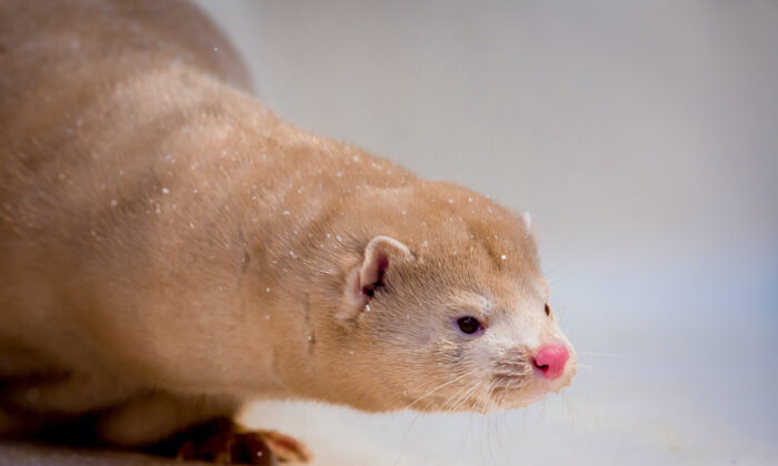 File photo of a mink grown in fur farming, in the box for photography, powdered with snow. (Kostantin Sokolov/iStock Photos)