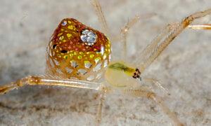 Mirror Spider's Mosaic-Like Reflective Abdomen Captured in Spectacular Closeup Photographs