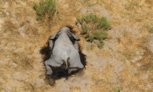 Mystery Deaths of 360 Elephants Near Water Holes in Botswana Spark Fear of Health Risk