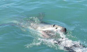 Shark Pulls 10-Year-Old Boy From Boat and Attacks Him Off Australian Coast
