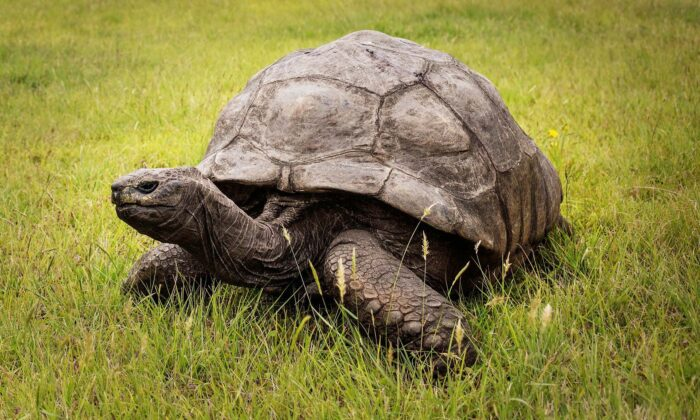 Jonathan, a Seychelles giant tortoise, believed to be the oldest reptile living on earth  (GIANLUIGI GUERCIA/AFP via Getty Images)
