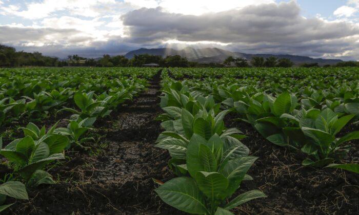 Tobacco farm stock photo, Jan. 19, 2017. (INTI OCON/AFP via Getty Images)