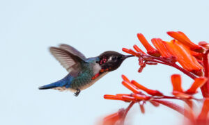 Meet the Bee Hummingbird, This Captivating Jewel Is the World's Smallest Bird