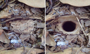 New Trapdoor Spider Discovered in Australia Hides Its Burrow Behind Cleverly Hinged Door